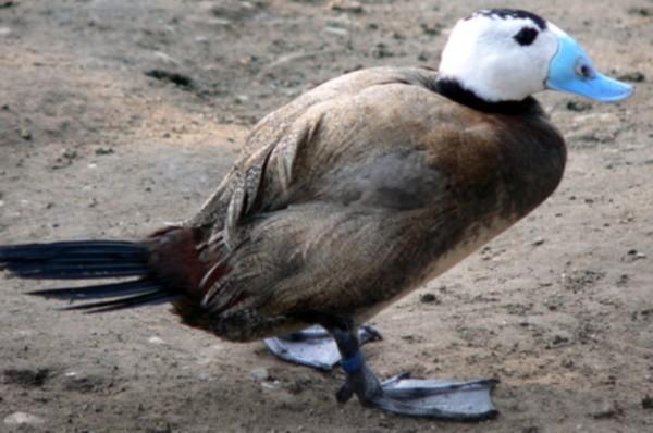 В Межводном обнаружили 30 особей редкой птицы — савки с голубым клювом