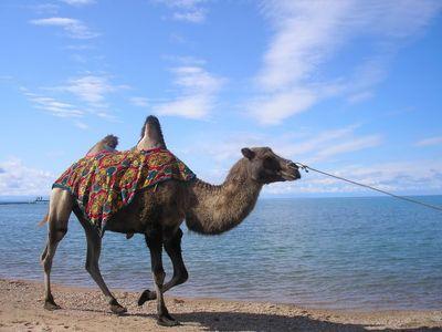Покататься на верблюде в Крыму